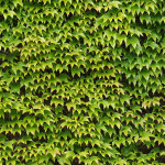 Non-tiling ivy Texture synth Texture synth sample07a 150x150